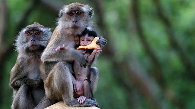 Fauna-Monyet-Ekor-Panjang-Si-Usil-yang-Dekat-dengan-Manusia